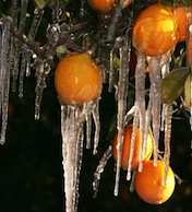Oranges frozen with Icicles