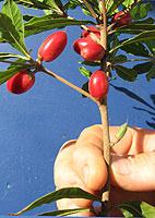Close Up Of California Grown Miracle Fruit